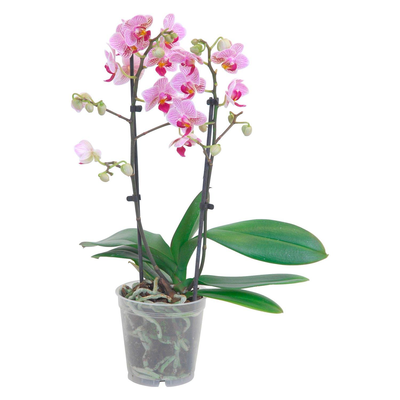 Orchidea confezionata atelier flower shop acquista e for Costo orchidea